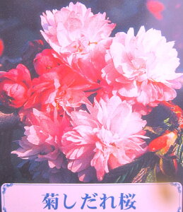 紅紫色の花で優雅な八重咲きのシダレ桜キクシダレザクラ(菊枝垂れ桜) 1.8?2m