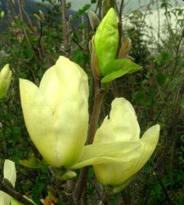 庭木 落葉樹 キモクレン 黄花モクレン エリザベス 1.1m