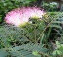 【ネムの木(合歓木)】夜になると葉を閉じる♪ネムノキ(ピンク)1m