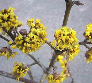春は黄色い花、秋には真紅の果実が実る サンシュユ 1.5m