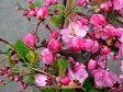 ハナカイドウ (カイドウ桜) 6号鉢植え(j4)