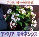 香りのある生垣を☆アベリア唯一の芳香花アベリア・モサネンシス 苗