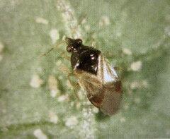 アザミウマの防除に天敵タイリクヒメカメムシを利用した殺虫剤 【代引き不可】タイリクヒメハ...