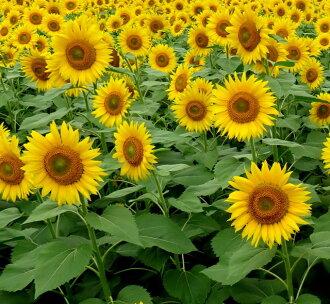 向日葵向日葵種子 1 公斤