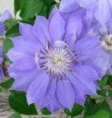 クレマチス テンシオ(薄紫八重咲き) 4号鉢
