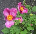 秋明菊(シュウメイギク) ハドスペン 4.5号苗(b8)