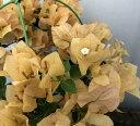 【花なし】ブーゲンビリア イエロー 5号鉢苗(h04)