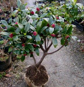 香りの良いジンチョウゲ赤花沈丁花(ジンチョウゲ) レッドスター L