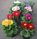 期間限定Sale!花壇を彩る 寒さに強い花ジュリアンジュリアン苗 10個