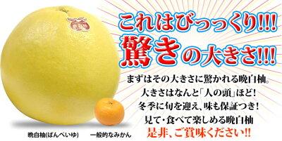 爽やかな柑橘で食べ応えアリ♪大満足♪香り良いジャンボ果実♪贈り物にも大好評♪八代産 晩白柚...