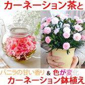 母の日ギフト お花のつぼみとカーネーション鉢植 送料無料 女性 プレゼント 花鉢 バンビーノカーネーション茶 花咲く工芸茶ギフト