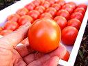 高糖度フルーツトマト 高知県夜須町産 約1キロ おためしご家庭用(玉数オマカセ品)