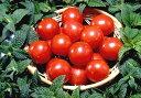 話題の『徳谷トマト』が今季も登場!とくたにフルーツトマトの中から味良し!お値打ち品を厳選...