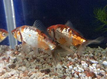 銀鱗三色和金 約10から12cm前後 1匹/金魚 生体 埼玉産 荻野養魚場産 珍しい 淡水