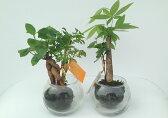 【ハイドロカルチャー】ミニボールΦ6苔玉2種寄せ植え 2鉢セットリュウキュウコクタン&パキラガジュマル&ポリシャス