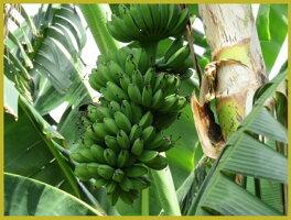 バナナチップ有機JASオーガニックバナナチップス100g1袋フィリピン産有機ココナッツオイル有機ココナッツシュガー使用ORGANICBANANACHIP保存料無添加