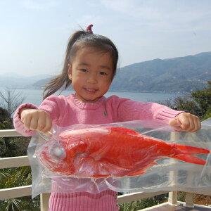 静岡県下田産超特大金目鯛