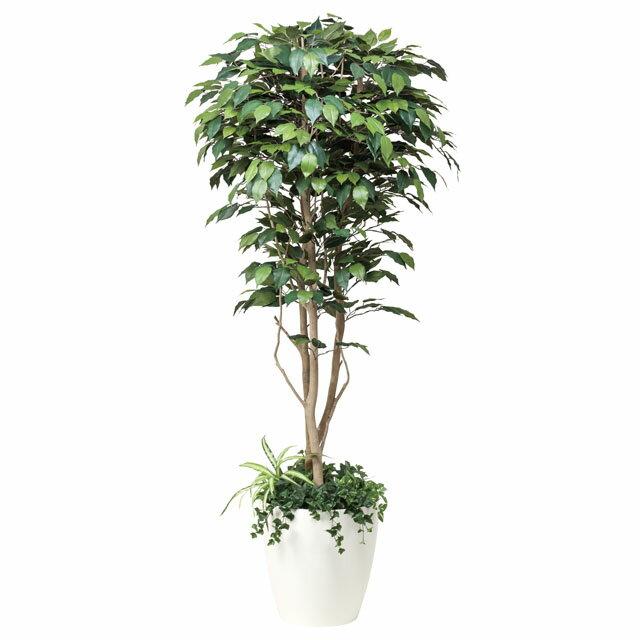 光の楽園:(508A450-22)フィカスベンジャミン1.8植栽付 92349:イチネンネット