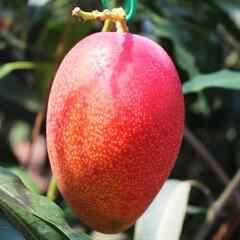 あの太陽のタマゴよりも厳しい選果基準!糖度17度以上のマンゴーです!宮崎県日南市産 高糖度 ...