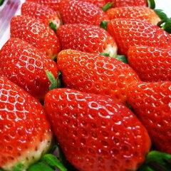 茨城県が威信をかけて研究開発した新品種イチゴをベテラン生産者が手がけた絶品「いばらキッス...