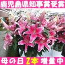 鹿児島県知事賞受賞花!産直は花持ちが1週間違う!ピンクの大輪40輪以上...