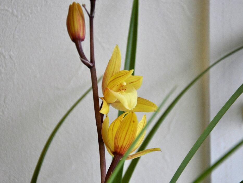 毎年花を咲かせやすい品種で、和蘭挑戦したい方にまずおススメしたい品種です!!!
