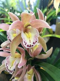 あんず色のような複雑な花色の個性的な品種♪
