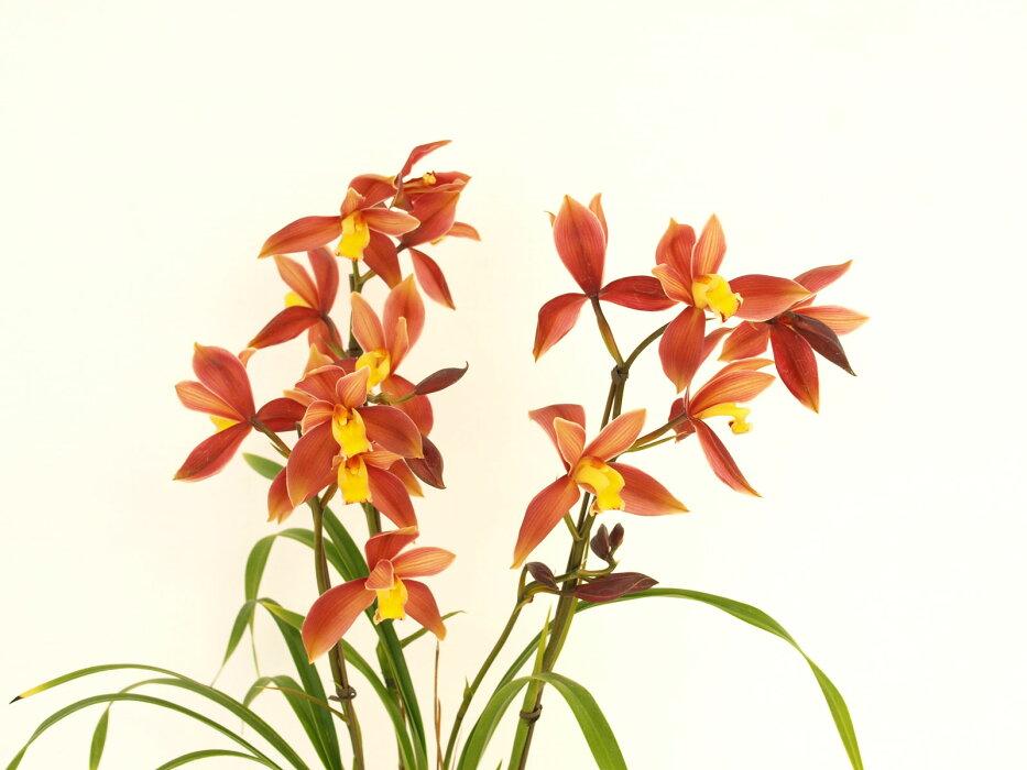 コンパクトな葉に大変珍しい朱赤色の美花をつける最新優良品種