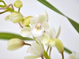 極矮性の小輪純白花♪