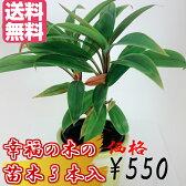 幸福の木 観葉植物 ドラセナ 幸福の木の苗 3本セット 苗木 南国 徳之島 送料無料