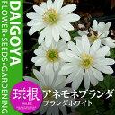ひとつの球根からいくつもの花が咲くアネモネ・ブランダ ブランダホワイト(白)【球根】3球入...