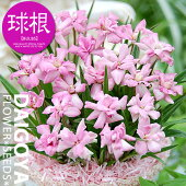 アッツ桜アッツザクラ八重咲桃球根2球春植え球根