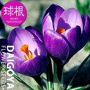 クロッカス 花壇植え リメンブランセ(紫)【球根】9球入り袋詰め_クロッカス_花壇植え_秋植え…