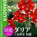 【春植え球根】夏から秋にかけて綺麗な花を咲かせますガーデンダリア 2色咲き 祝歌(紅/白)【...