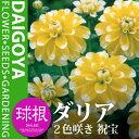 【春植え球根】夏から秋にかけて綺麗な花を咲かせますガーデンダリア 2色咲き 祝宝(黄/弁先白...