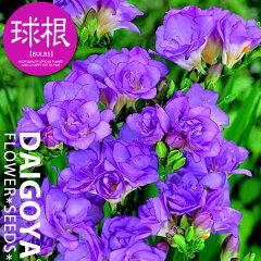 清楚!シンプル!!いい香り!!!フリージア 八重咲き ダブルパープル(紫)【球根】5球入り袋詰め_...