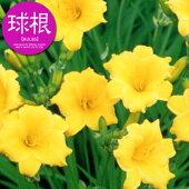 四季咲きヘメロカリスステラデオロ【球根】放植タイプ1球袋詰め
