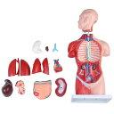 人体模型GX-207お腹と背中が見える内臓模型高さ45cmユ...