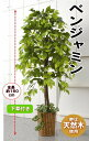 【送料無料】人工観葉植物 ベンジャミン   1.5m 大型 インテリア 造花 フェイク グリー...