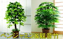 【送料無料】人工観葉植物 ベンジャミン & 観音竹 2点セット  観葉...