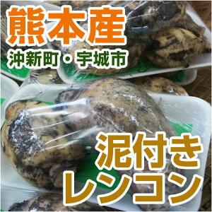 ■熊本県産 泥付きレンコン■...
