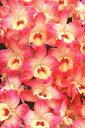 デンドロビューム苗Den. Oriental Smile'Orange Heart'オリエンタルスマイル'オレンジハート'