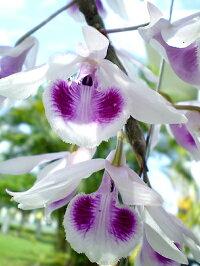 デンドロビューム原種の苗Dendrobiumanosmumデンドロビュームアノスマム