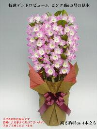 特選デンドロビューム6.5号鉢ピンク系
