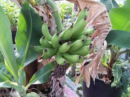 Bananaバナナの苗