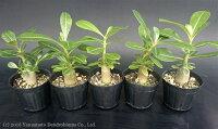 アデニウムオベスム(砂漠のバラ)の実生苗5株セット