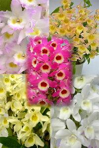 【NEW】ミニデンドロ(小型優良品種)5種5株セット