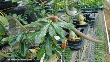 アデニウムオベスム(砂漠のバラ)の種(鞘)付き株