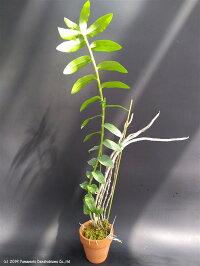 デンドロビューム原種の苗Den.anosmumアノスマム