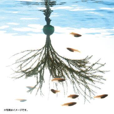 スドー メダカの浮く産卵藻 大【メダカ用・産卵用・メダカの浮く産卵藻】